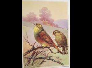 """""""Vogel, Goldammer """" 1950, R.Schulz ♥ (19488)"""