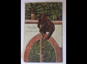 Bär, Basel, Zoologischer Garten der braune Bär, 1909 ♥