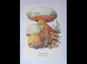 Pilze, Satanspilz, 1950 ♥ (16802)