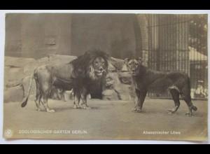 Zoo Berlin, Abessinische Löwen, Fotokarte 1921