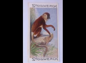 Stollwerck, Gruppe 8, Nr.3, Le Nasique, Affen, ♥