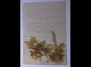 Trocken Blumen, gepresste Blumen auf Briefpapier aus dem Jahr 1877 ♥
